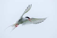 Arctic Tern (Simon Stobart) Tags: arctic tern sterna paradisaea flight northeastengland flying angry