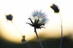 Unveiled (sauremmanuel) Tags: pissenlit duvet blanc white dandelion