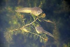 Lithobates (=Rana) catesbeiana (American Bullfrog) tadpoles (birdgal5) Tags: california solanocounty winters putahcreek lakesolanopark amphibia ranidae tadpole bullfrog americanbullfrog lithobates nikon d4 nikond4 80400mmf4556gvr lithobatescatesbeiana ranacatesbeiana rana inaturalistorg