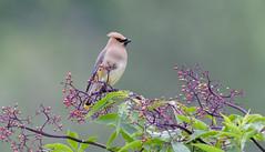 Cedar Waxwing (Wes Aslin) Tags: cedarwaxwing avian abbotsford britishcolumbia canada bombycillacedrorum