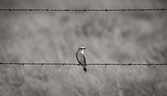 _KJR7231.jpg (kellyjrusso) Tags: panhandle birding d750 nikon statepark animal paloduro wild texas bird tamron outdoors sunlight hiking flycatcher barbedwire fence