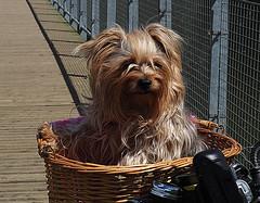 Millie (Smiffy'37) Tags: dog yorkie torkshireterrier portrait animal pets highqualitydogs