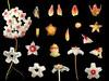 Apocynaceae Hoya carnosa (taiwanicus) Tags: 兩性花 bisexual flower 柱頭 stigma 子房 ovary 雌蕊 pistil 雄蕊 stamen