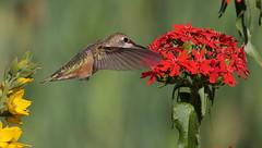 Rufous Hummingbird, Female (Eric_Z) Tags: rufoushummingbird female coquitlam britishcolumbia canada redflowers canoneos7dmkii ef100400mmf4556lisiiusm