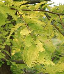 Metasequoia glyptostroboides-33 (The Tree Library (TreeLib.ca)) Tags: metasequoiaglypsroboides dawnredwood