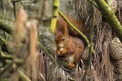 Red Squirrel (The Original Happy Snapper) Tags: red squirrel redsquirrel rodent uk pine feeding eating