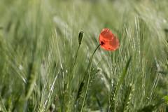 alone (Bea Antoni) Tags: green grün tamron canon field feld summer sommer makro macro pflanze plant flower blume natur nature poppy mohn mohnblume