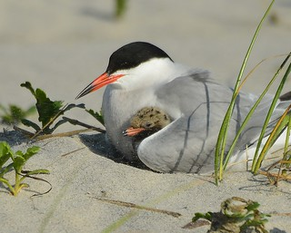 Baby Tern with Mama