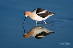 Symmetry (craig goettsch) Tags: hendersonbirdviewingpreserve2017 bird avian wildlife nature animals blue reflection