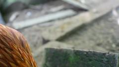 Beastie Birds.DSC_0017CHICKENIZM (Di's Free Range Fotos) Tags: chicken video freerangechicken chickenbeingchicken hens backyard chickenyard chickenscratch chickenystuff yardchicken pets portrait natural birds
