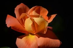 Rose is a rose is a rose is a rose, Explored, best # 08 on May 23, 2017 (presbi) Tags: flower rose rosa