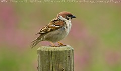 Tree Sparrow (STAFF.PAUL) Tags: treesparrow sparrow bempton outside bird thisphotorocks nationalgeographicwildlife animalplanet rspb canon canon7d canonl100400