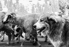 shepherding (taxtamas) Tags: monochrome blackandwhite dog sheperd sheep herd erdély outdoor