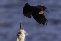 Redewing Blackbird (Chatham Sound) Tags: