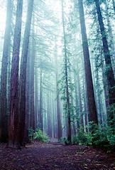 (-Alberto_) Tags: nikonn90s 35mmfilm redwoods forest nature kodakgold400