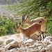 Israel-05969 - Ibex
