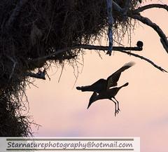 _DJA3630 copy (naturephotographywildlife) Tags: kruger wildlife scenery animals birdlife a99ii africa park hamerkop