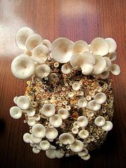 Cogumelos Shimeji Branco - Mushroom - (Pleurotus ostreatus) (Valter França) Tags: shimeji branco comestível cogumelo fungo fungii pleurotus pleurotusostreatus