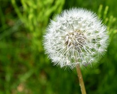 Make a Wish (NettaT) Tags: dandelion flower dandelions furry fuzzy soft plant nature macro texture