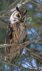 Je vous ai à l'oeil... (Régis B 31) Tags: aiguamolls asiootus espagne hiboumoyenduc longearedowl strigidés strigiformes bird oiseau