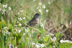 golden-crowned sparrow (Riex) Tags: goldencrowned sparrow moineau oiseau bird animal california a900 amount minoltaamount maxxum af reflex 500mm f8 telephoto lens mirror catadioptric sal500f80 miroir optiqueamiroir