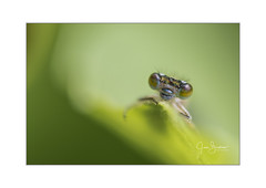 The tiny creatures in the garden (Gies!) Tags: waterjuffer damselfly garden tiny insect creatures azuurjuffer