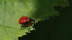 Hazel leaf roller ~  Apoderus coryli {explored} (Cosper Wosper) Tags: hazelleafroller apoderuscoryli hatchhill somerset explored