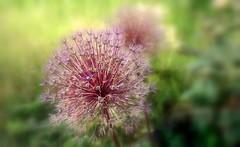 Allium (mamietherese1) Tags: earthmarvels50earthfaves phvalue