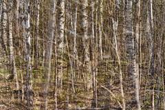 Multiple Nature 349 (pni) Tags: tree birch trunk branch multiexposure multipleexposure tripleexposure centralparken centralpark helsinki helsingfors finland suomi pekkanikrus skrubu pni keskuspuisto