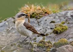 JWL0339  Wheatear.. (jefflack Wildlife&Nature) Tags: wheatear northernwheatear birds avian animal wildlife wildbirds songbirds summermigrant heathland moorland countryside mull nature