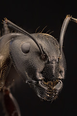 Carpenter Ant (ayres_leigh) Tags: ant bug insect macro nature animal wildlife