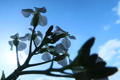 a wish for wings (sezura) Tags: flower radish sky