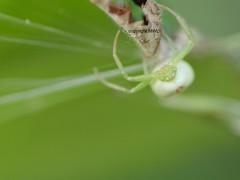 Misumenops tricuspidatus (Phil Arachno) Tags: spider misumenops thomisidae arachnida chelicerata arthropoda germany rheinlandpfalz
