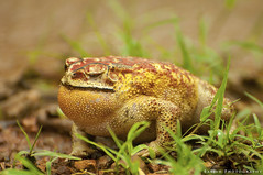 Welcoming Arrival of Monsoon - Asian common toad (Duttaphrynus melanostictus) (Babish VB) Tags: toad kerala india monsoon theindiatree nikond90 nikon asiancommontoad duttaphrynusmelanostictus animalplanet