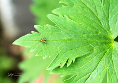 """Insect on a Leaf • <a style=""""font-size:0.8em;"""" href=""""http://www.flickr.com/photos/128016608@N06/34447700014/"""" target=""""_blank"""">View on Flickr</a>"""