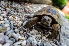 (SamuelFornoni) Tags: verde animali turtle rettile reptile green animal tartaruga