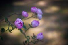 """My Rose """"Raubritter"""" (ursulamller900) Tags: raubritter pentacon28100 rose rosa pink bokeh kletterrose climber mygarden"""