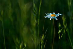 """Oxeye Daisy"" (helmet13) Tags: d800e raw flora flower blossom oxeyedaisy leucanthemumvulgare meadow selectivefocus bokeh simplicity aoi heartaward peaceaward nature platinumpeaceaward world100f platinumheartaward 200faves"