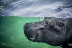 Hyppo sous l'eau (flutalute) Tags: hyppo afrique sauvage dangereux