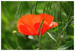 Transparency - Explore 17/6/2017 (Gert Vanhaecht) Tags: canonsx720hs colours flowers gertvanhaecht bokeh milan green composition backlight colour canon light flower nature