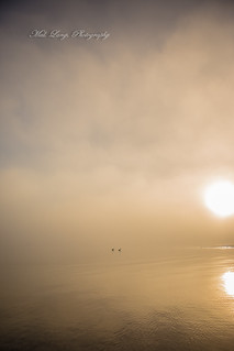 Pelicans in the fog ,Port Lincoln foreshore