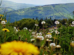 mountains behind dandelions (Ola 竜) Tags: mountains dandelions yellow flowers lowpov blowballs trees grass landscape mountain focus fz200 dof macro closeup golden flower taraxacum dandelionseeds vivid colorful spring perspective green nature flyinginsects meadow