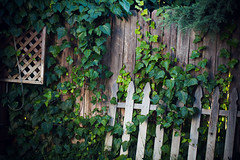 fence and ivy [Day 3062]
