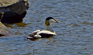 Common eider (male) / Haahka (uroshaahka). Arctic Sea bird, Helsinki,  Finland, Baltic sea