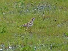 Lark Sparrow - Langley, BC (Michael W Klotz - The Bird Blogger.com) Tags: lark sparrow chondestesgrammacus langley brydon lagoon bc britishcolumbia canada grass gravel rare migrant blogger rust green