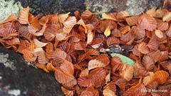 Nothofagus gunnii (Rotuli) Tags: nothofagusgunnii fagus tanglefoot decidousbeech nothofagaceae lakefenton mtfieldnationalpark tasmania australia endemic