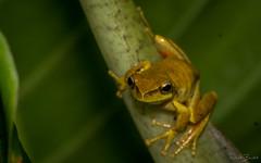 Whirring Tree Frog (Litoria revelata) (elliotbudd) Tags: whirring tree frog litoria revelata elliot budd binna burra qld queensland revealed