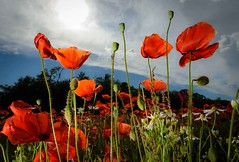 _AD16116_new (Antonio De Martis) Tags: altreparolechiave fiori papaveri