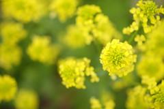 in a cheerful manner/心はずませて (kurupa_m) Tags: flower plant macro fujifilm xt10 spring yellow hokkaido sapporo 春 北海道 札幌 黄色 百合が原公園
