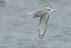 Bonaparte's Gull (Chroicocephalus philadelphia) (Gavin Edmondstone) Tags: chroicocephalusphiladelphia bonapartesgull lakeontario bronteharbour oakville ontario firstsummer